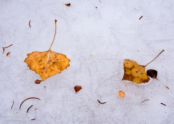 Cottonwood leaves on ice, White Canyon.