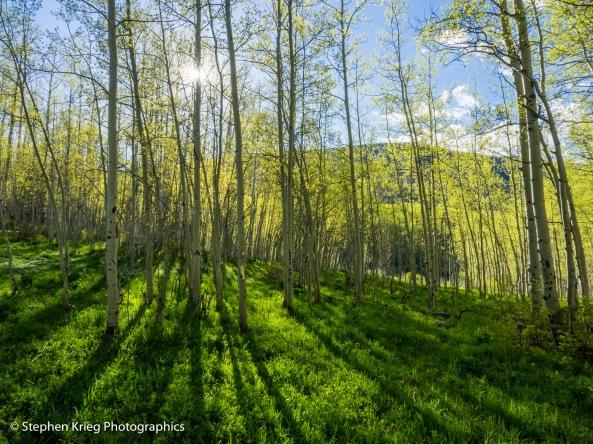 Morning has broken: Springtime aspen forest camp.